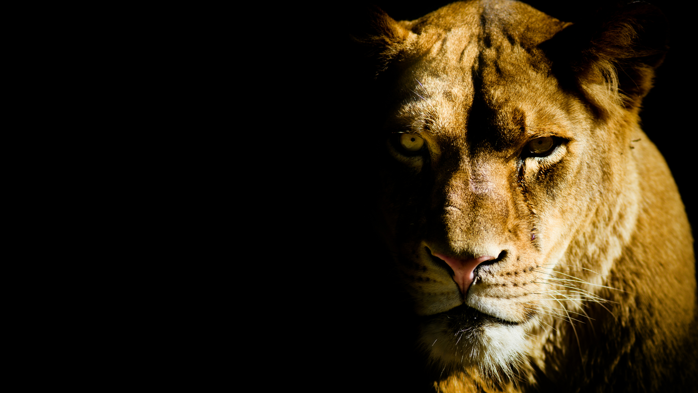 Lioness representing strong women